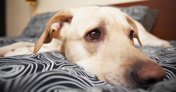 Canine Influenza Virus