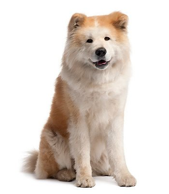 Akita image