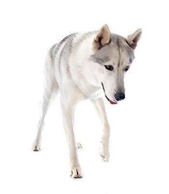 Alaskan Husky image