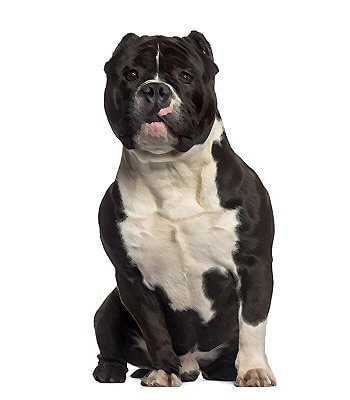 American Bully image