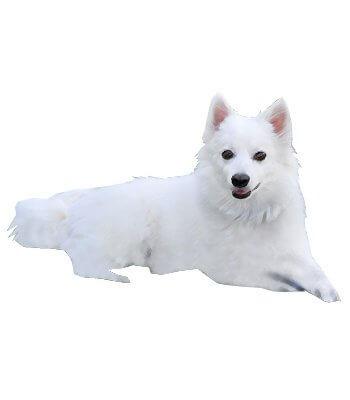 American Eskimo Dog image