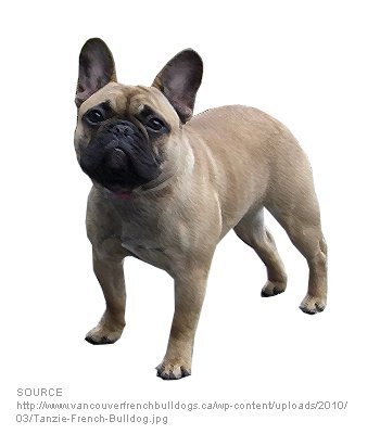 American French Bulldog