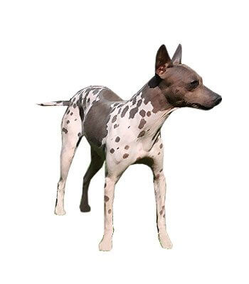 American Hairless Terrier image