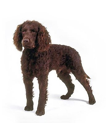 American Water Spaniel image