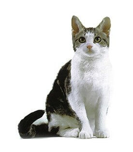 American Wirehair image