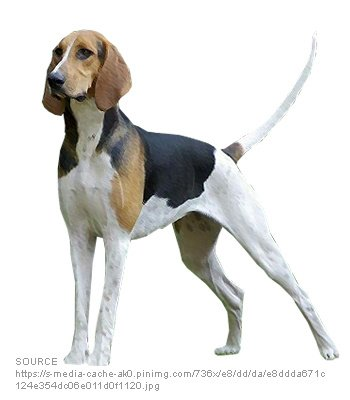 Anglo French Hounds