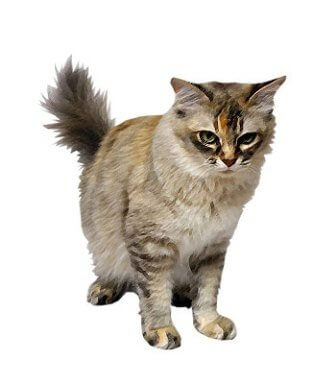 Asian Cat image
