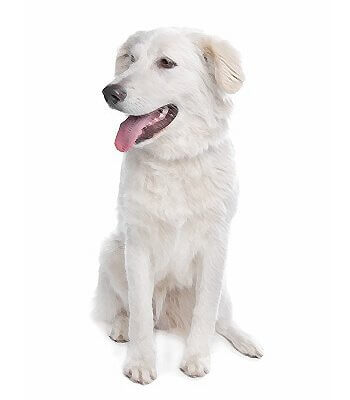 Atlas Dog