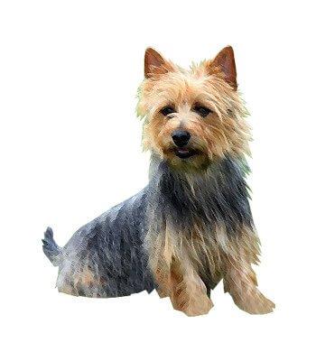 Australian Silky Terrier image