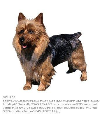 Australian Yorkshire Terrier