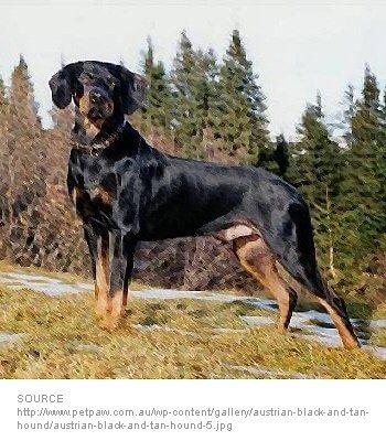 Austrian Hound image