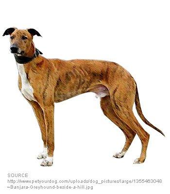 Banjara Greyhound image