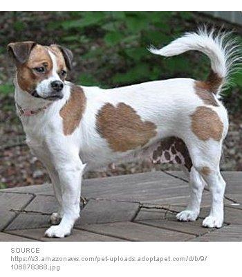 Beagle Chin