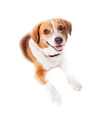 Beagle Mix image