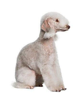 Bedlington Terrier image