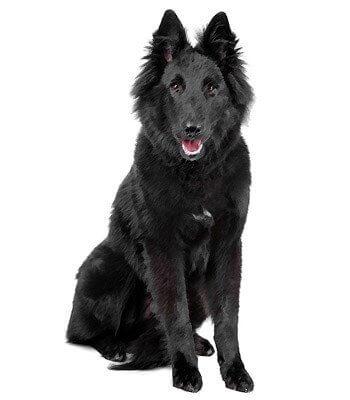 Belgian Shepherd image