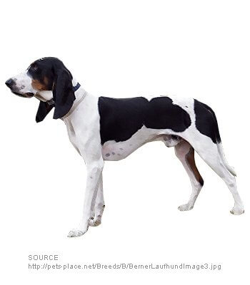 Bernese Hound image