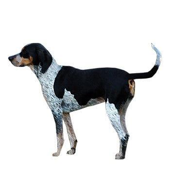 Bluetick Coonhound image