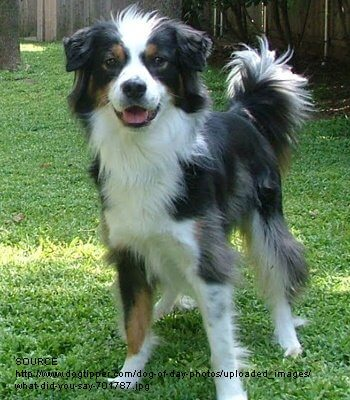 borderaussie breed information