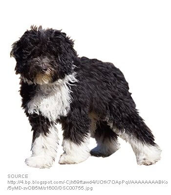 Bordoodle - Dog Breeds - Characteristics, Feeding, Health
