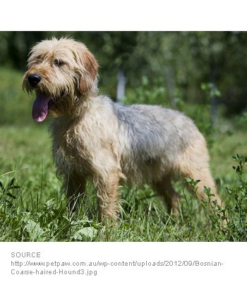 Bosnian Coarse-haired Hound image