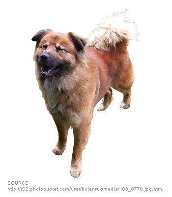 Boxer Chow Dog Breeds Characteristics Feeding Health
