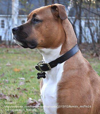 bull boxer dog