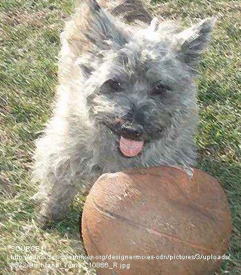 Bushland Terrier