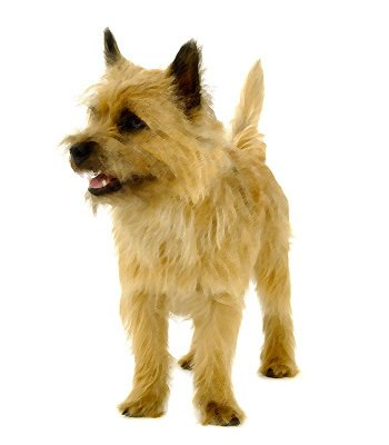 Cairn Terrier image