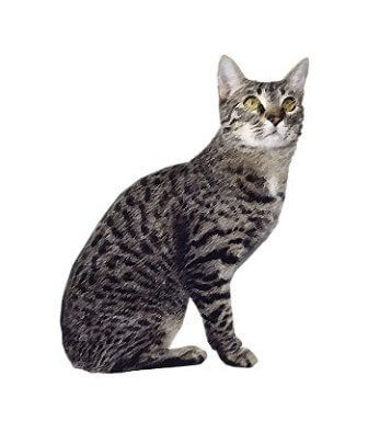 California Spangled Cat image