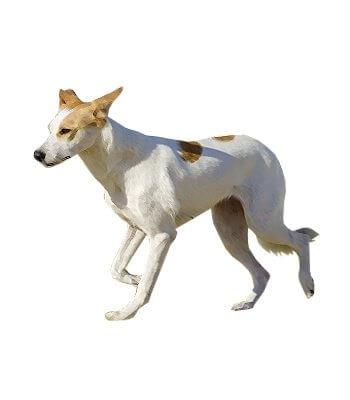 Canaan Dog image