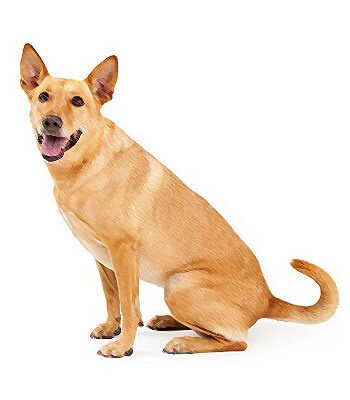 Carolina Dog image