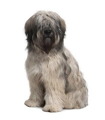 Catalan Sheepdog image