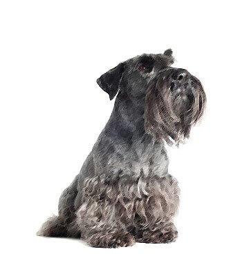 Cesky Terrier image