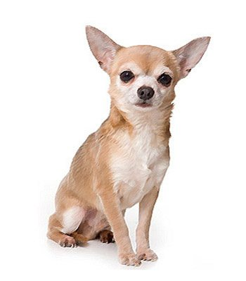 Chihuahua Mix Breed Information
