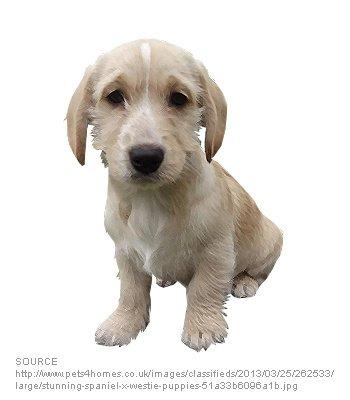 Cocker Westie - Dog Breeds - Characteristics, Feeding