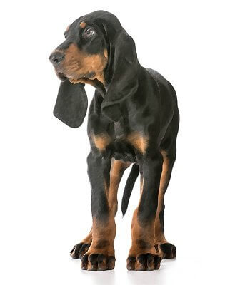 Black and Tan Coonhound image