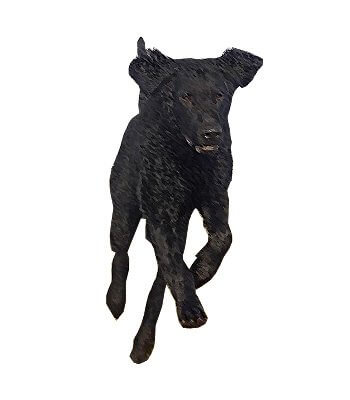 Curly-Coated Retriever image
