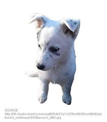 Dalmatian Husky