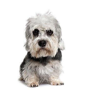 Dandie Dinmont Terrier image