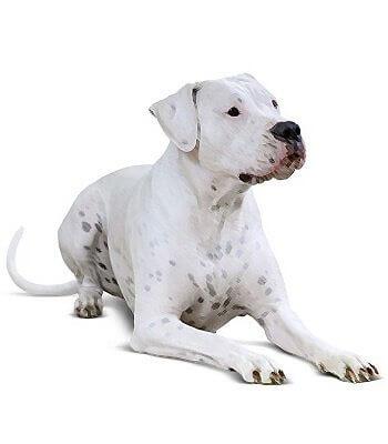 Dogo Argentino image