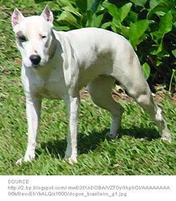 Dogue Brasileiro
