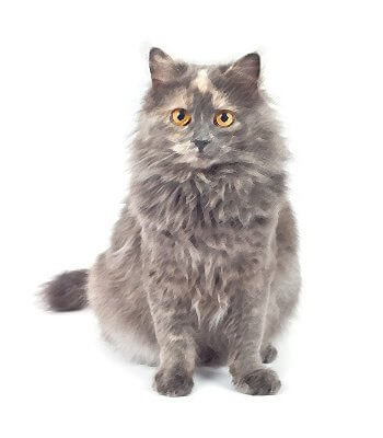Domestic Longhair image