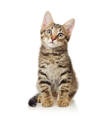 Domestic Shorthair image