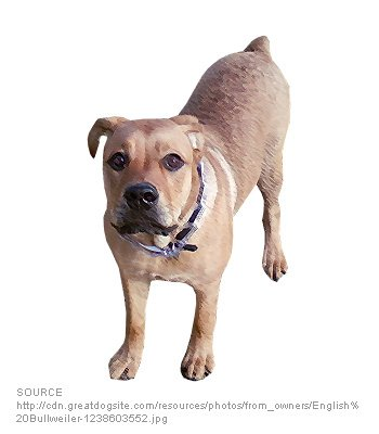 English Bullweiler - Dog Breeds - Characteristics, Feeding ...