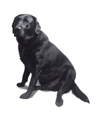 English Retriever image