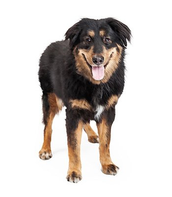 English Shepherd image