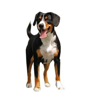 Entlebucher Mountain Dog image