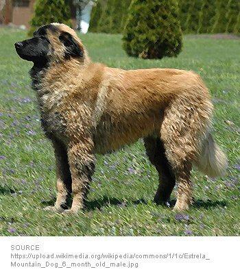 Estrela Mountain Dog image