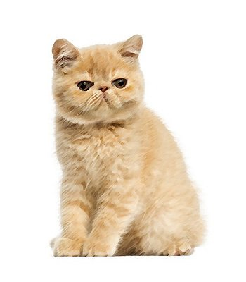 Exotic Shorthair image